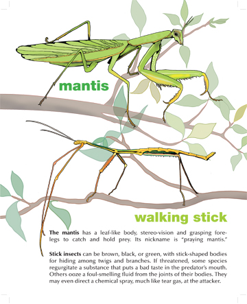 Mantis & Walking Stick